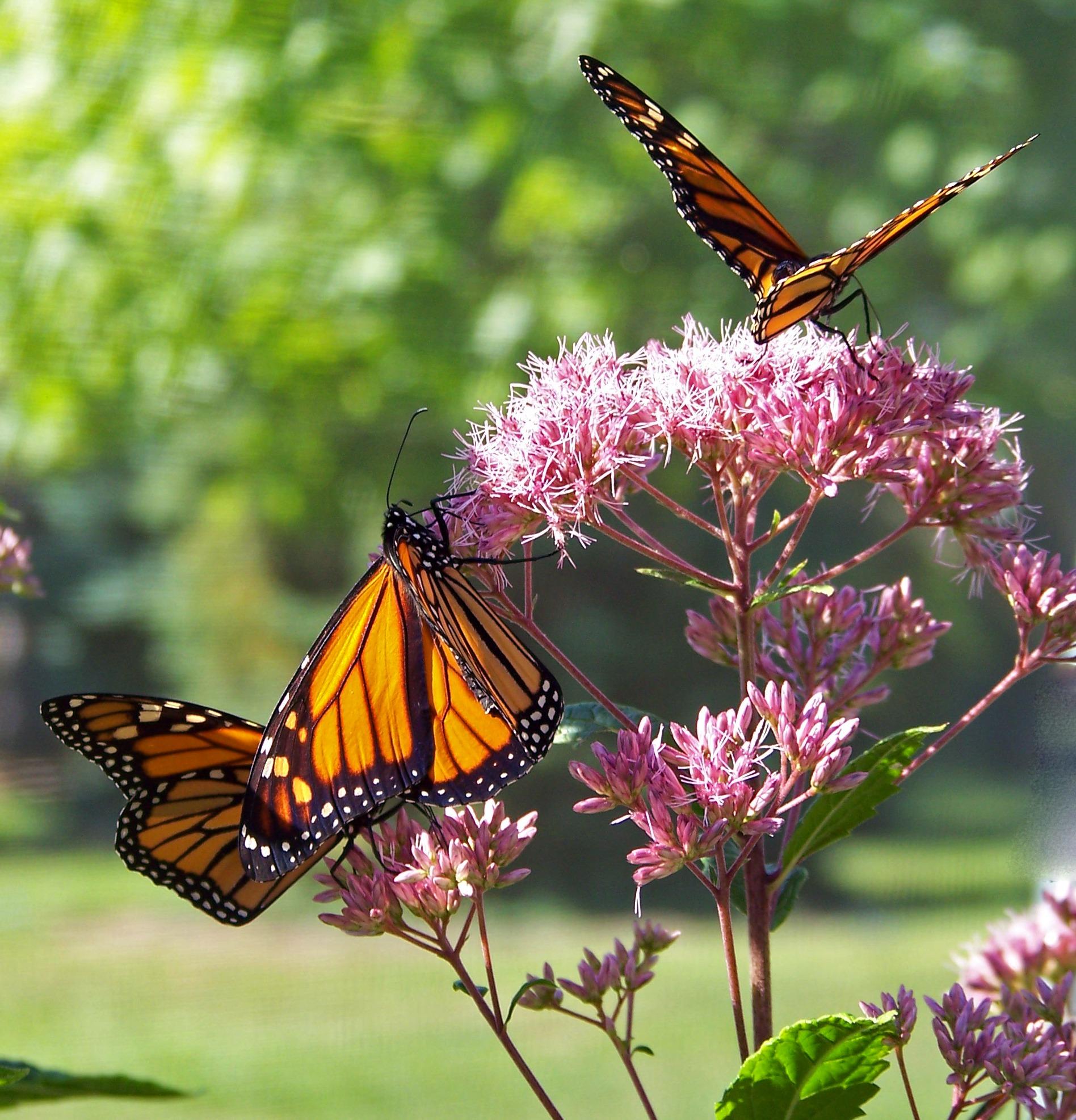 incómodo mariposas